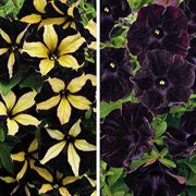 Black Bloom Petunia Annual Plant Combination
