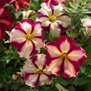Cha-Ching Cherry Petunia Annual Plants