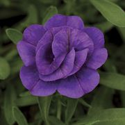 MiniFamous® Calibrachoa Double Blue