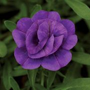MiniFamous™ Double Blue Calibrachoa Annual Plants