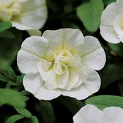 MiniFamous™ Double White Calibrachoa Annual Plants