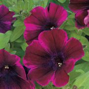 Sweetunia® Johnny Flame Petunia Annual Plants