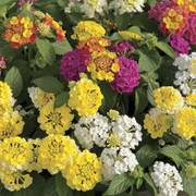 Lemon Meringue Lantana Combination image