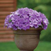 Petunia Surfinia® Heavenly Blue