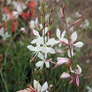 Sparkle White Gaura Plants- Pack of 6