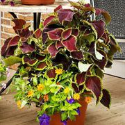Color Coaster Combination Annual Plants