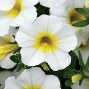 MiniFamous® Calibrachoa Neo White