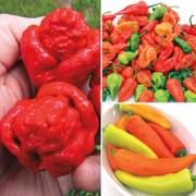 Super Hot Pepper Assortment (pack of 3)