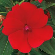 SunPatiens Compact Red Impatiens (pack of 3)