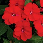 SunPatiens® Vigorous Red image