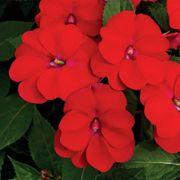 SunPatiens® Vigorous Red Impatiens