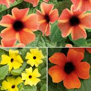 Thunbergia-A-Peel® Combination (pack of 3)