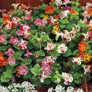 Mimulus Magic Blotch Mix Plants