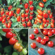 Cherry Tomato Assortment (pack of 3)