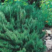 Arp Rosemary (pack of 3)