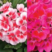 Crimson Splash Geranium Combination (pack of 3)