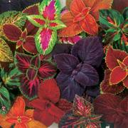 Coleus Giant Exhibition Complete Mix