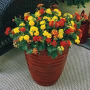 Lantana Kwik Kombos™ I Like it Hot™