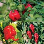 Parks Inferno Pepper Collection