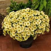 Petunia SuperCal® Light Yellow image