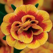 Calibrachoa MiniFamous™ Neo Double Orangetastic image