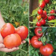 Park's Top Tomato Collection image