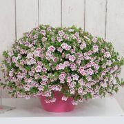 Calibrachoa MiniFamous® Uno Double Pinktastic image