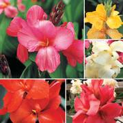 Tropical Canna Flower Seeds Collection