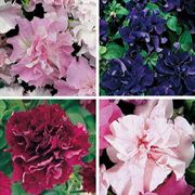 Double Cascade Petunia Seeds Collection