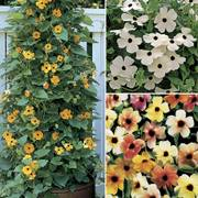 Black-Eyed Susan Vine Seeds Collection