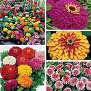 Top Zinnia Collection