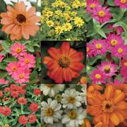 Profusion Single-Flowered Zinnia Seed Collection