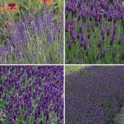 Park's Lavender Seed Collection Alternate Image 1
