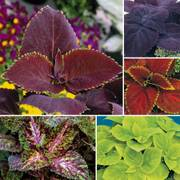 Giant Exhibition Coleus Seeds Collection