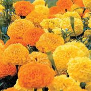 Parks Whopper™ Marigold Seeds Collection