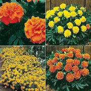 Parks Janie Marigold Seeds Collection