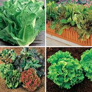 Our Best Lettuce Seeds Collection