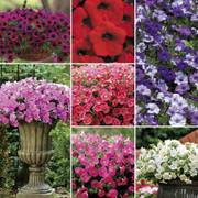 Shock Wave™ Petunia Seeds Collection