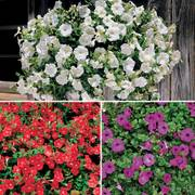 Avalanche Petunia Seed Collection