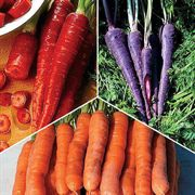 Colorful Carrot Seed Collection