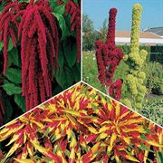 Amaranthus Seed Collection