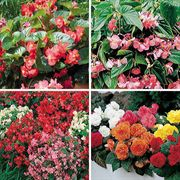 Top Begonia Seed Collection