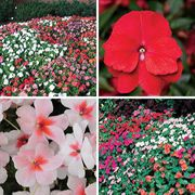 Best Impatiens Seed Collection