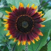 Shock o Lat Sunflower Seeds