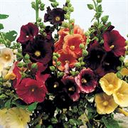 Old Barnyard Mix Hollyhock image