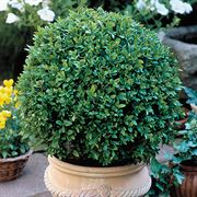 Boxwood Green Velvet