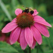 PowWow® Wild Berry Coneflower Alternate Image 1
