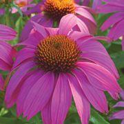 PowWow® Wild Berry Coneflower Alternate Image 4