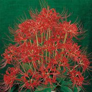 Red Spider Lily - Pack of 3