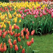 May-flowering Tulip Bulb Collection